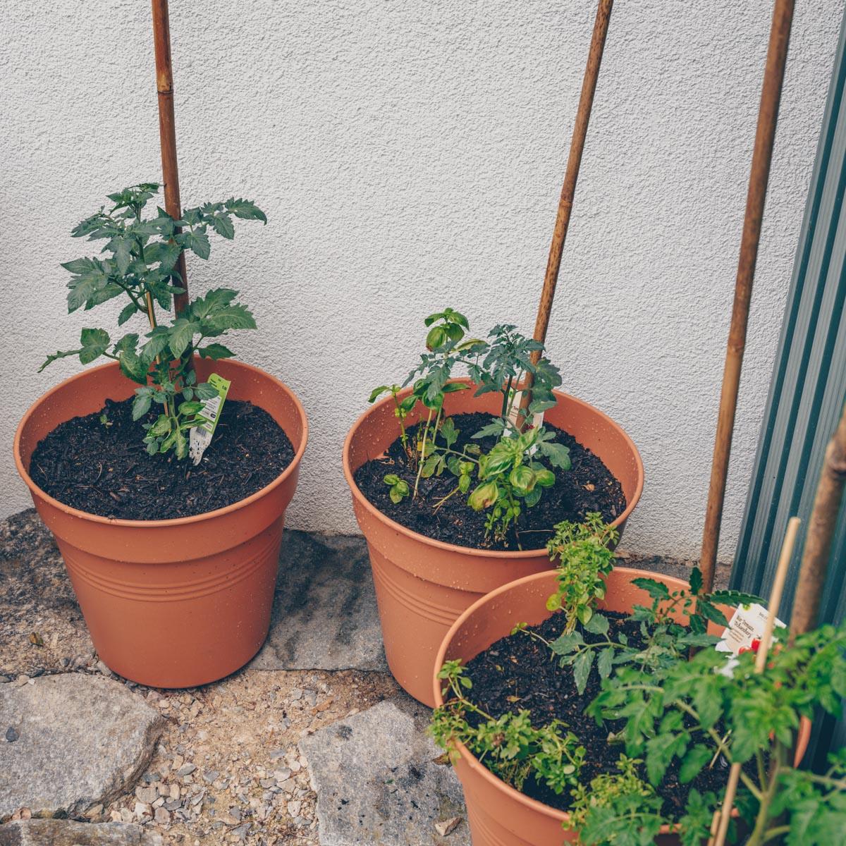 Urbanes Gärtnern - Tomaten